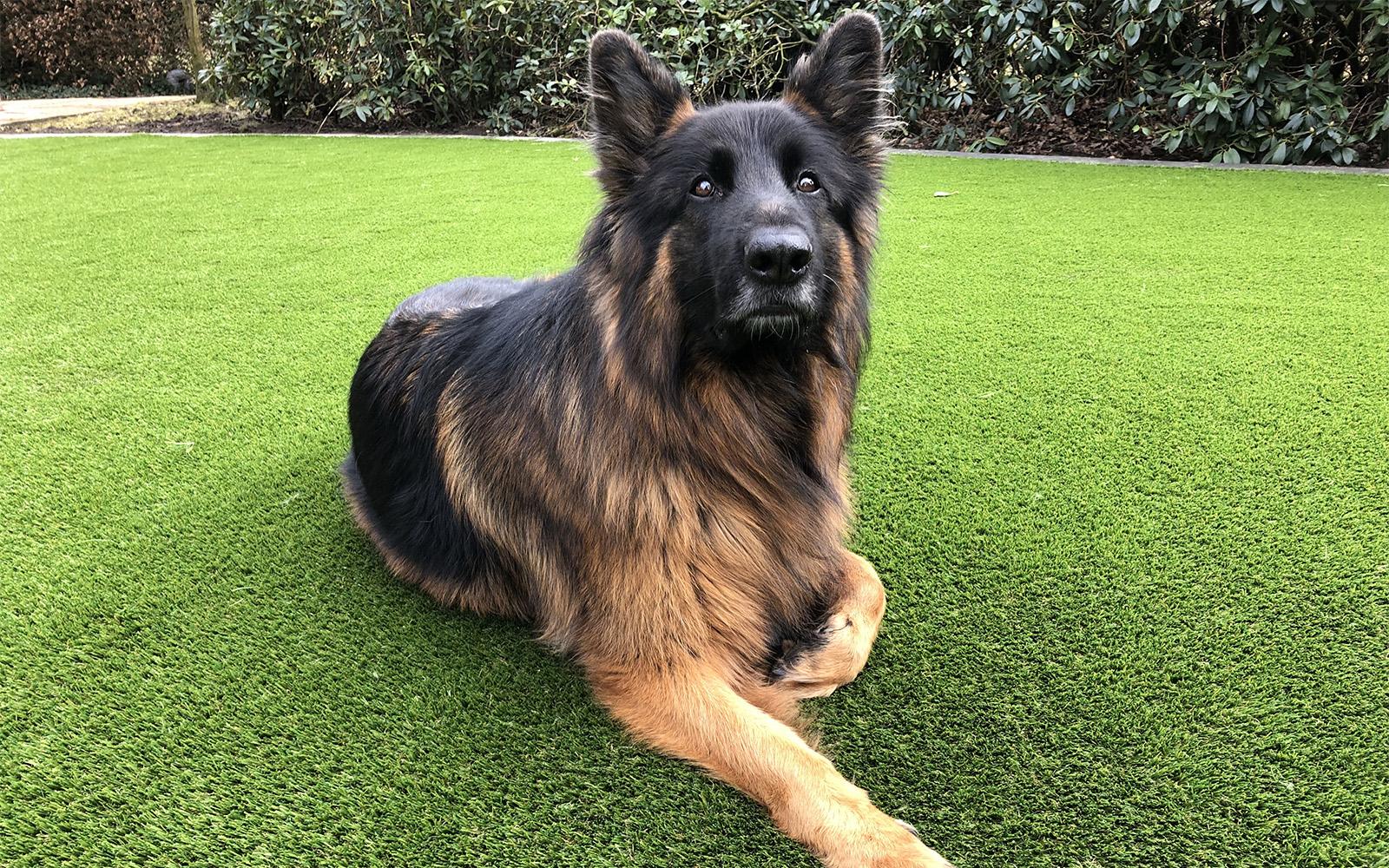 Kunstgras speciaal voor honden, Royal Grass, Kunstgras, Royal Grass, Huisdieren, Recycling , Gazon, Gras, Tuin